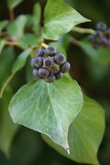 Efeu-Früchte