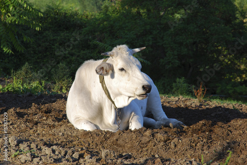 White cow in a field