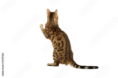 Bengal cat standing on hind legs