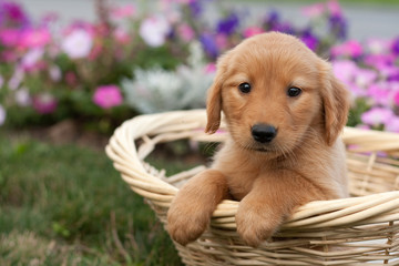 Golden Retriever Sitting in Basket