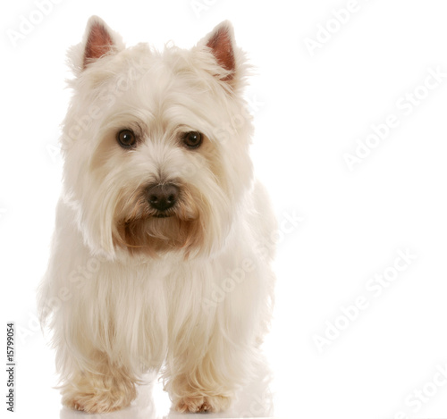 west highland white terrier standing with reflection