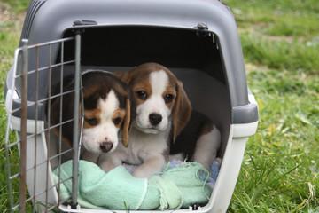 Beaglewelpen in Transportbox