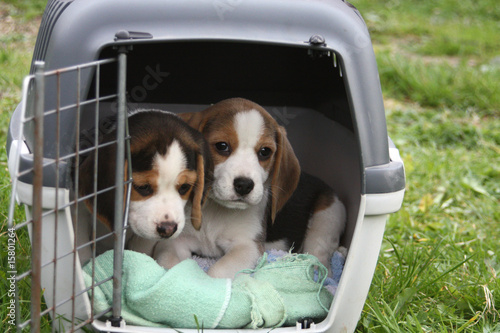 Beaglewelpen in Transportbox