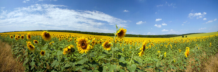 beautiful landscape of fields with sunflowers, and sky