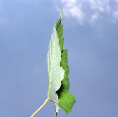Ahornblatt seitlich vor blauem Himmel