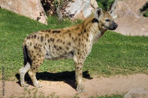 In de dag Hyena Perfil de un carnívoro