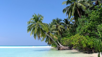 Palm tree, Athuruga, Ari Atoll, Maldives