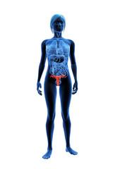 transparenter körper mit markiertem uterus
