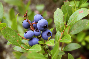 wild blueberry shrub