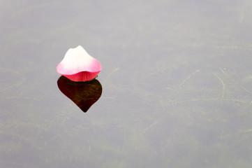 Lotus petal over water