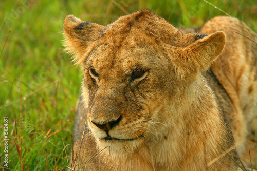 Lioness under rain in the wilderness