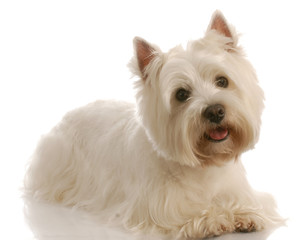 west highland white terrier laying down with reflection