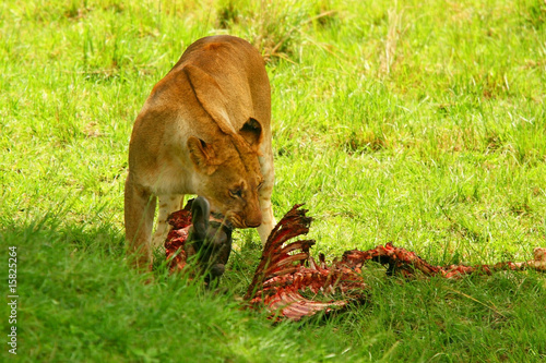 Wild africam lioness eating wildebeest