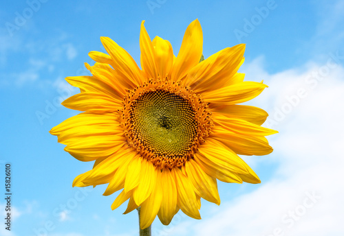 Beautiful and colorful sunflower