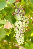 Unripe grapes poster