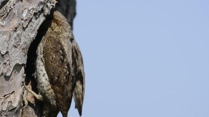 torcicollo al nido