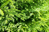 Closeup of evergreen spruce branches poster