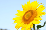 sunflower and pollen poster