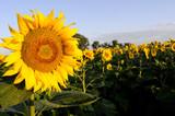 vibrant sunflower poster
