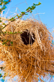 Weaver bird nest hanging in an acacia tree
