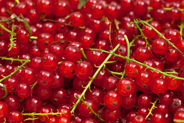 many red currants on ripes close