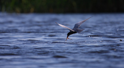 Adult common tern Sterna hirundo flying with catch