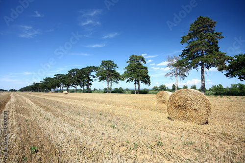 Hay bales and Douglas pine