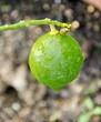 Citron vert sur la branche.
