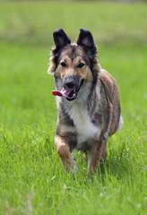 Hund, Galopp, Sport