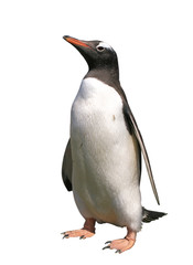 Gentoo penguin with clipping path