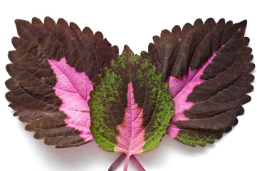 Three coleus leaves