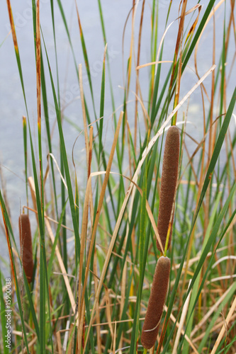 view of cattails in marsh