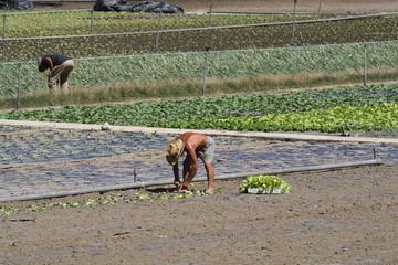Agricultor plantando vegetales.