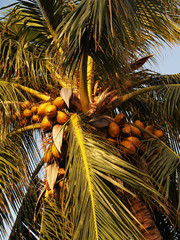 Cocopalm