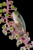 Tree frog on poke weed poster