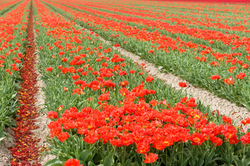Tulips in the fields