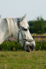 Close-up of a white horse