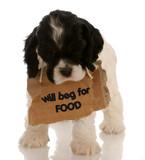 dog begging for food - cocker spaniel puppy begging poster