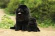 chow-chow noir adulte assis à côté de son chiot - côte à côte