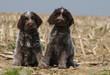 deux jeunes griffon korthals assis côte à côte dans un champ