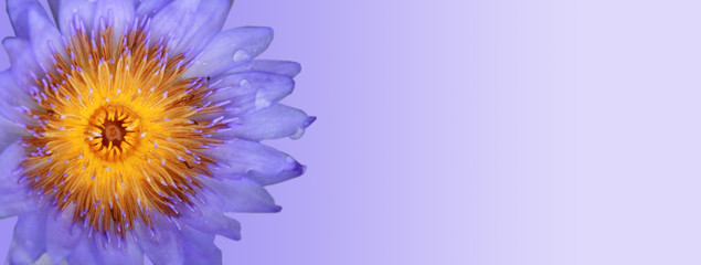 Purple blue Lotus Isolated on blue background