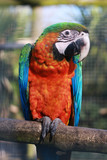 Harlequin Macaw poster