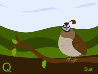 Animal alphabet flash card, Q for quail