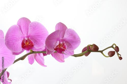 kwiaty-phalaenopsis