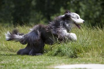 bearded collie en plein saut dans les hautes herbes - beauté