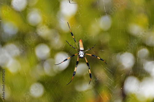 .GOLDEN SILK ORBWEAVER