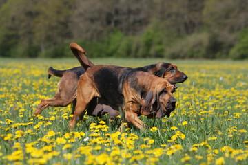 deux chiens de saint-hubert trottant ensemble dans les fleurs