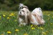 shih tzu marchant de profil dans l'herbe - élégance