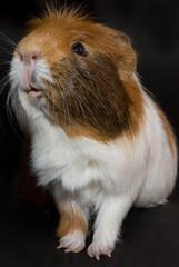 zutrauliches Meerschweinchen - Portrait