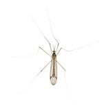 long legs mosquito poster